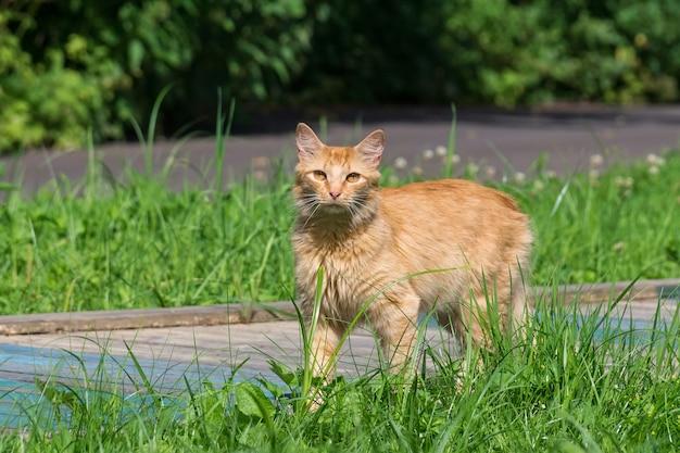 Chat rouge sur l'herbe Photo Premium