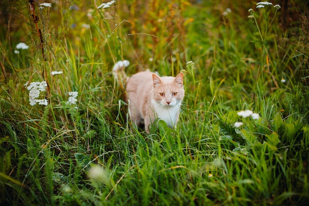 Chat rouge se promène sur l'herbe verte Photo gratuit