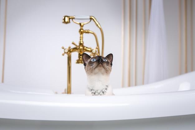 Un chat sans queue du mekong bobtail se reproduit dans une salle de bain rétro à l'intérieur du barocoo versailles palace. Photo Premium