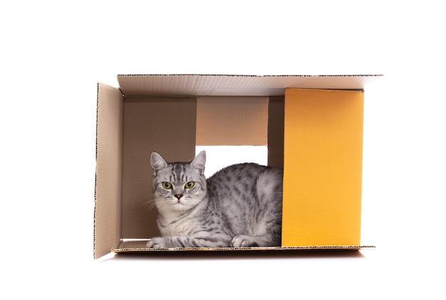 Chat scottish fold jouant seul dans la boîte à papier Photo Premium