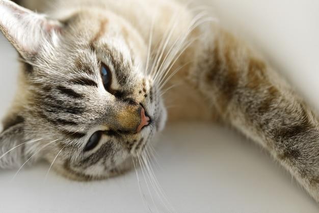 Le chat se couche et se dresse au soleil Photo Premium