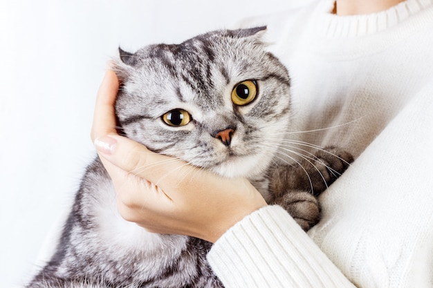 Le Chat Serre La Main D'une Fille. Pull Tricoté Avec Un Joli Minou. Chaton écossais Photo Premium