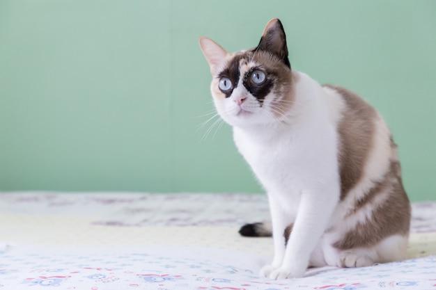 Chat thaï aux yeux bleus allongé sur le lit regarde la caméra avec fond de couleur verte. Photo Premium