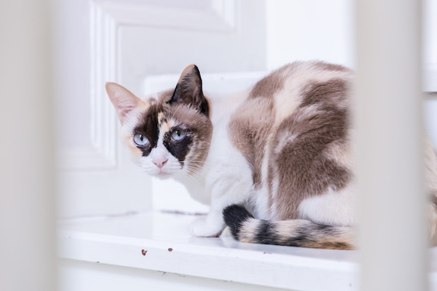Chat thaï aux yeux bleus se trouvant dans les escaliers de la maison regarde la caméra. Photo Premium
