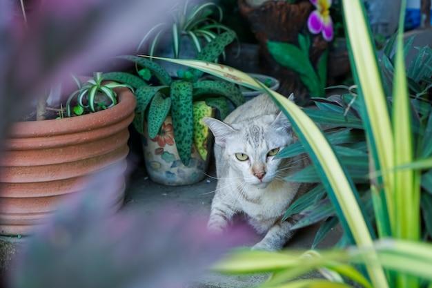 Chat Thaïlandais, Motif Tigre Brun, Dans Le Jardin. Photo Premium