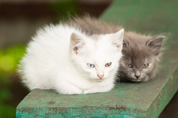 Chaton blanc avec des yeux différents Photo Premium