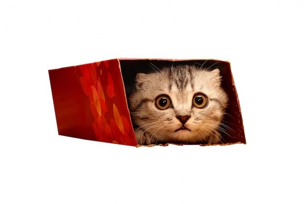 Chaton écossais furtivement dans la boîte. Photo Premium