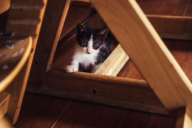 Chaton espiègle se cachant sous la table de la maison. Photo Premium