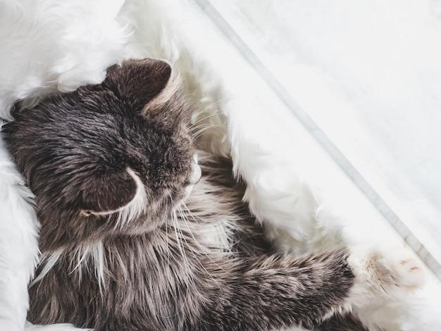 Chaton mignon, dormant sur un plaid blanc Photo Premium