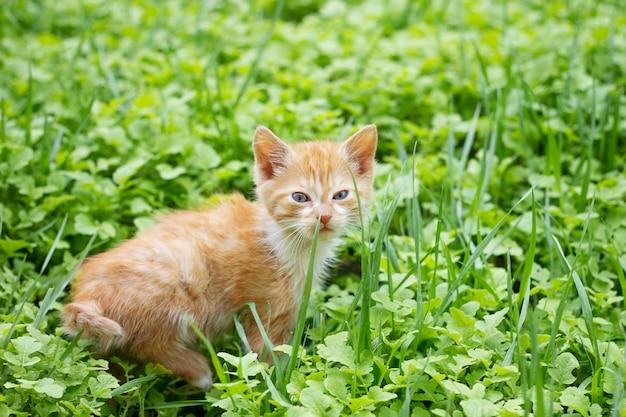 Chaton rouge dans l'herbe verte, animaux domestiques Photo Premium
