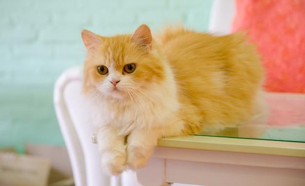 Chats persans allongés sur une table Photo Premium