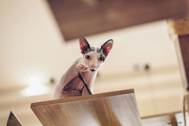 Les chats sphinx sont mignons et élégants, avec des poils courts sur de hauts parquets. Photo Premium