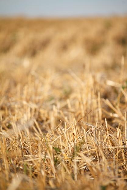 Chaume dorée de champ de blé fauché contre un ciel bleu, mise au point sélective Photo Premium