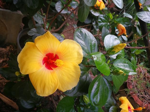 Chaussure fleur, hibiscus, rose de chine ou rose de papier Photo Premium