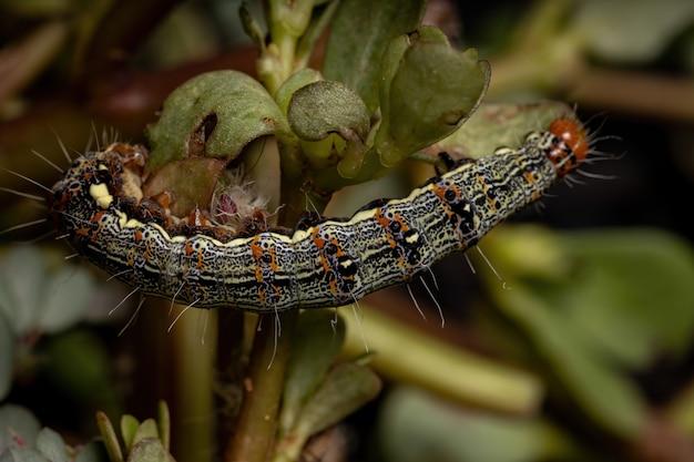 Chenille De L'ordre Des Lépidoptères Mangeant Une Plante Pourpier Commun De L'espèce Portulaca Oleracea Photo Premium