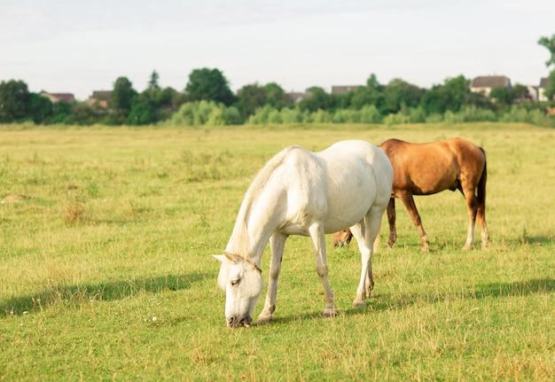Cheval blanc et brun paissent dans les pâturages d'été Photo Premium