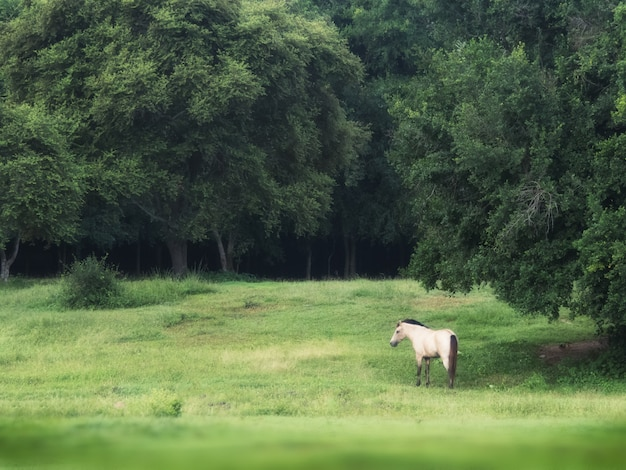 Cheval Blanc Dans La Forêt De Fond Vert En été, Tir Tranquille D'un Cheval Mâle Blanc Dans Le Champ D'herbe Verte. Photo Premium