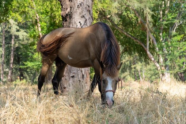 Cheval brun mangeant de l'herbe Photo Premium