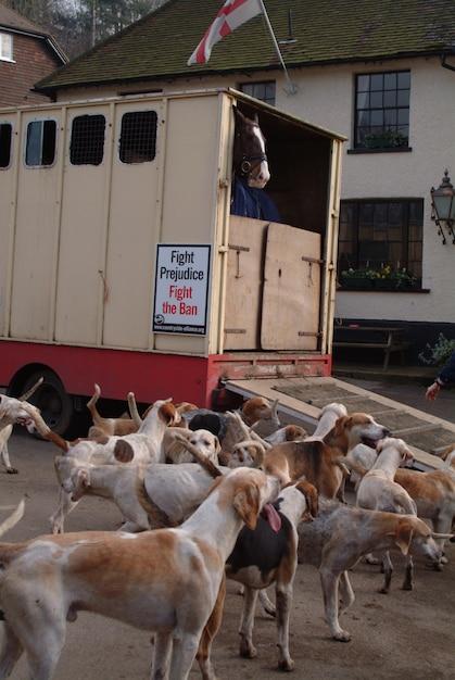 Cheval dans une boîte à chevaux avec des chiens de chasse. Photo Premium