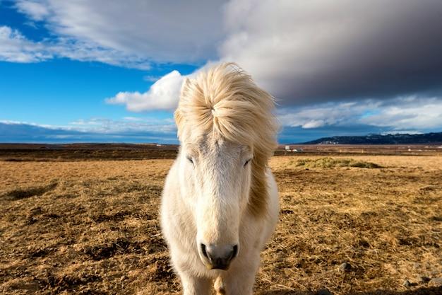 Cheval Islandais. Cheval Blanc. Photo gratuit
