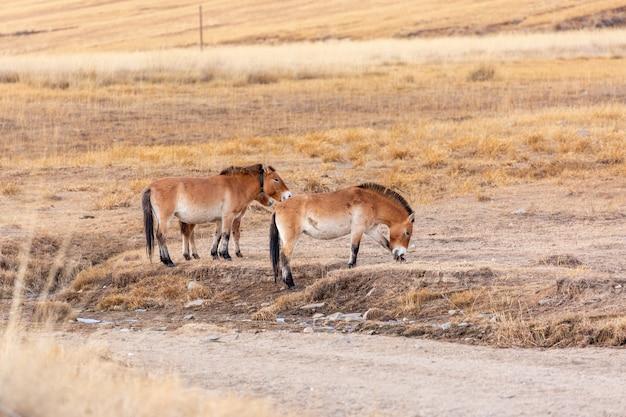 Un Cheval De Przewalski Au Parc National Khustain Nuruu En Mongolie Au Coucher Du Soleil Photo Premium
