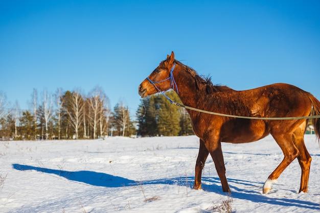 Cheval rouge dans un champ d'hiver enneigé Photo Premium