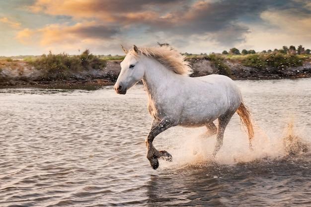Des Chevaux Blancs Courent Dans L'eau Sur La Plage Photo Premium