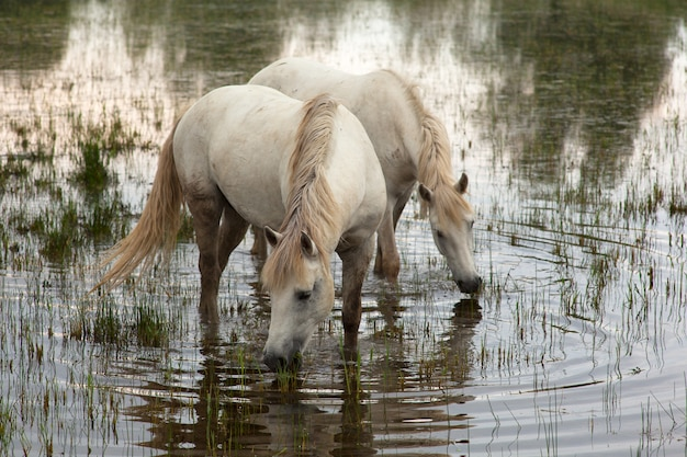 Chevaux camarguais Photo Premium