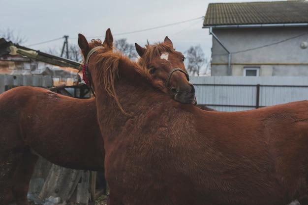Chevaux caressant sur une ferme Photo gratuit