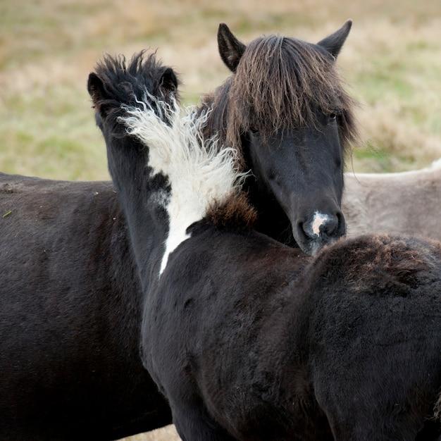 Chevaux islandais qui grouillent dans les pâturages Photo Premium