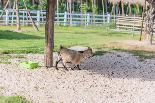 Chèvre au zoo Photo Premium