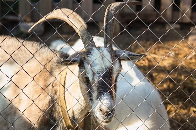 Chèvre avec des cornes regardant à travers la clôture Photo gratuit