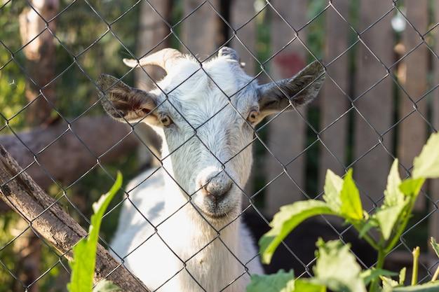 Chèvre, regarder, entre, portail, à, ferme Photo gratuit