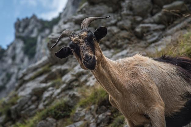 Chèvre sauvage sur les rochers de la montagne des asturies au nord de l'espagne Photo Premium