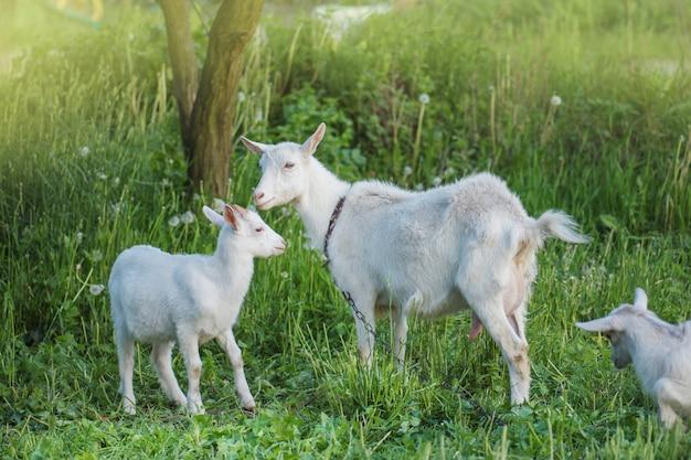 Chèvres sur la ferme familiale. troupeau de chèvres jouant. chèvre avec ses petits à la ferme Photo Premium