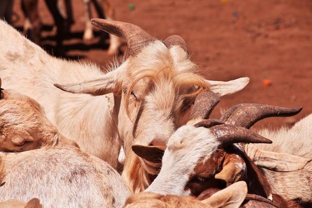 Chèvres Sur Le Marché Local En Afrique, Moshi Photo Premium