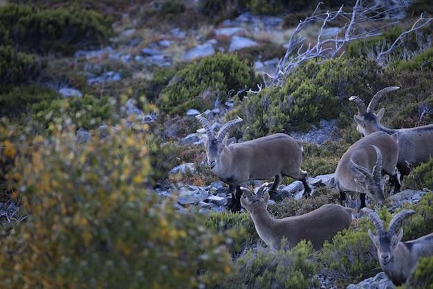 Chèvres De Montagne Paissant Dans L'herbe Photo gratuit
