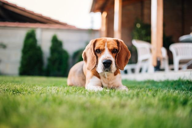 Chien Beagle Couché Sur L'herbe En Plein Air. Joli Chien Dans La Cour. Photo Premium