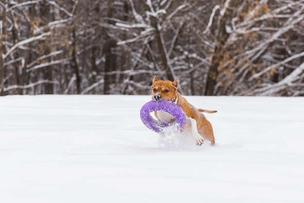 Chien brun jouant avec des jouets ronds dans la neige dans une forêt. staffordshire terrier. chien courant Photo Premium
