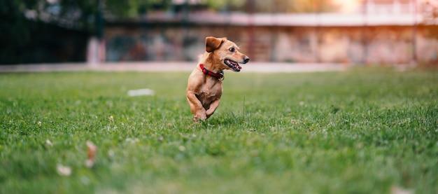 Chien brun qui court sur l'herbe Photo Premium