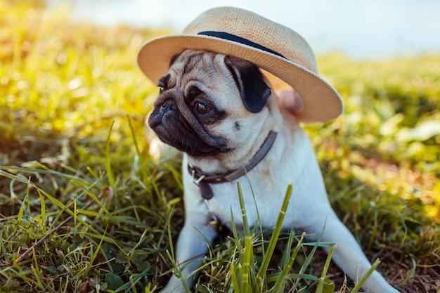 Chien carlin assis près de la rivière avec chapeau. chiot heureux en attente d'un ordre de maître. chien, refroidissement, dehors Photo Premium