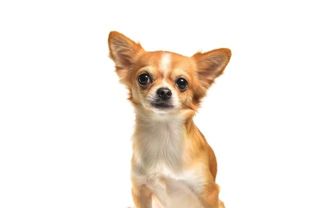 Chien chihuahua brown sur fond blanc Photo Premium