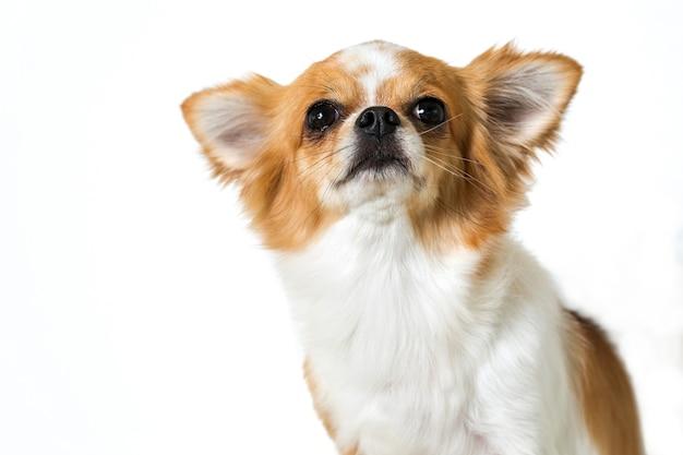Chien chihuahua mignon isolé sur fond blanc Photo Premium