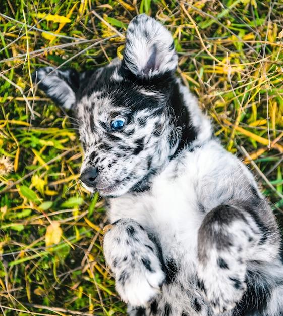 Chien Chiot Labrador Drôle Avec Des Yeux De Couleur Différente Photo Premium