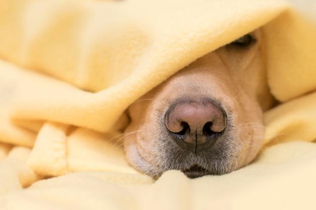 Chien dort sous un plaid jaune. nez agrandi. concept de confort, chaleur, automne, hiver. Photo Premium