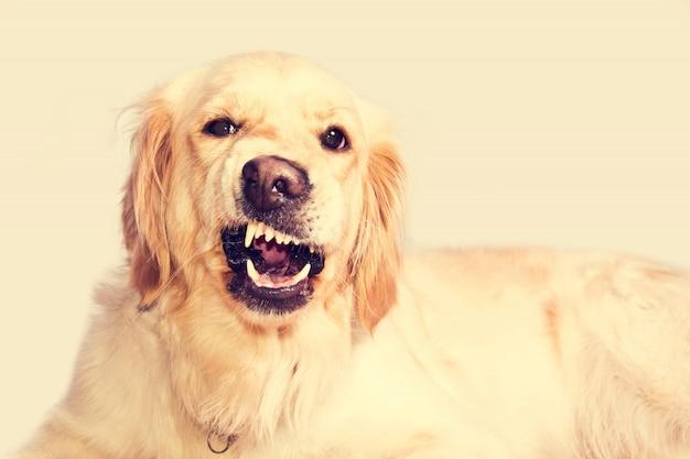 Chien de golden retriever en colère. Photo gratuit