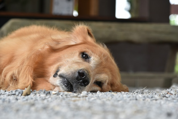 Chien golden retriever froid en regardant la caméra allongée sur le sol Photo Premium