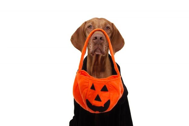 Chien Halloween Truc Ou Régal Avec Sac De Citrouille Et Vêtu De Noir. Photo Premium