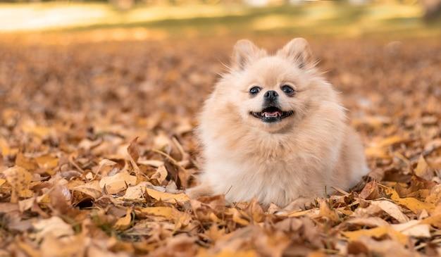 Chien heureux dans les feuilles jaunes en automne dans le parc. Photo Premium
