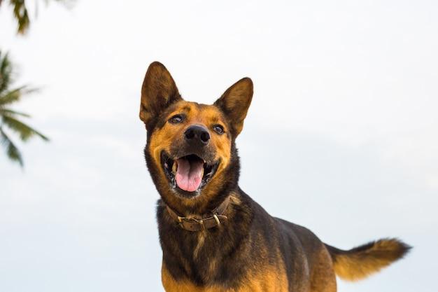 Un chien heureux sur la plage. Photo Premium